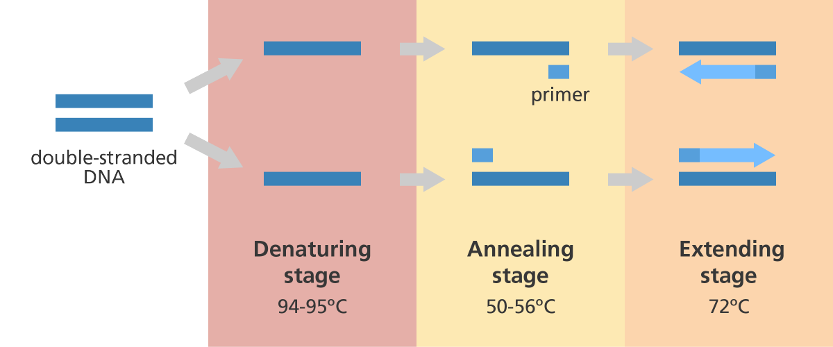 the 3 steps of PCR and temperatures
