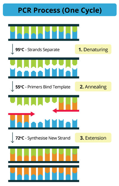 PCR steps - flow chart