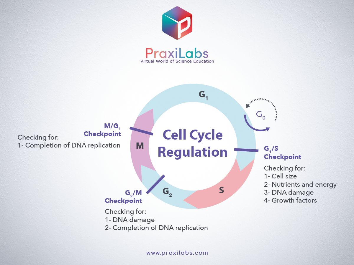Cell Cycle regulation by Checkpoints