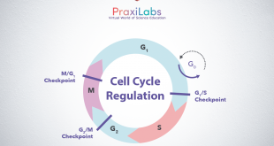 Cell Cycle Regulation: Cyclins and CDKs