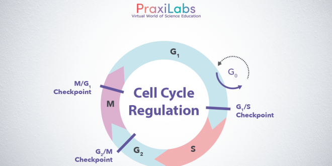 cell cycle regulaion